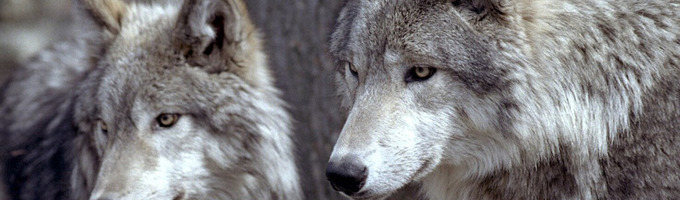 dogs and wolfs